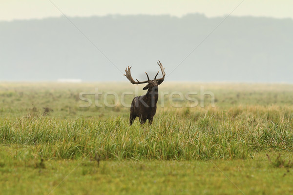 large fallow deer stag Stock photo © taviphoto