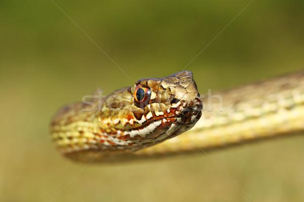 肖像 ヘビ 美しい 背景 小さな 頭 ストックフォト © taviphoto