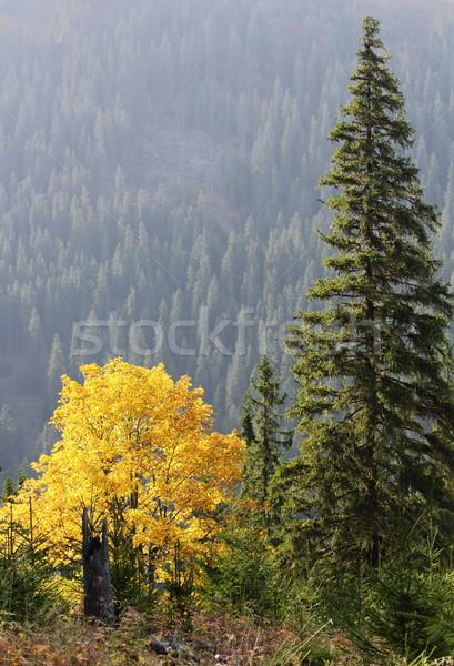 maple tree in autumn Stock photo © taviphoto