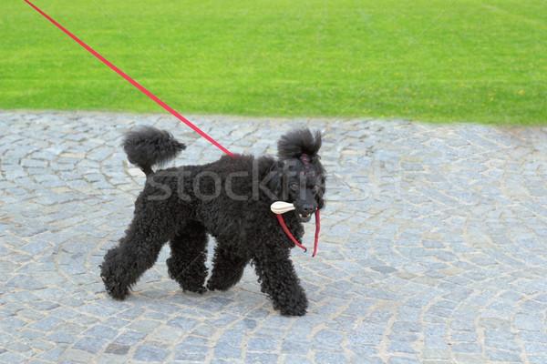 Lelijk zwarte hond ras lopen park Stockfoto © taviphoto