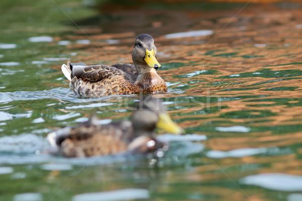 juvenile mallard duck swimming on water Stock photo © taviphoto