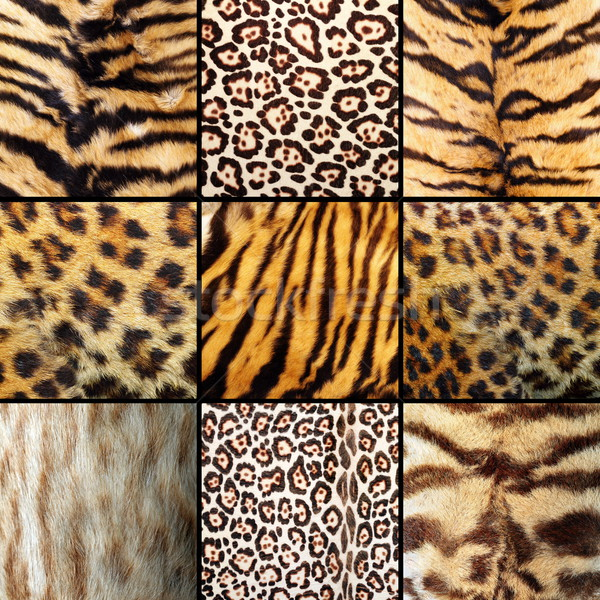 Stockfoto: Collectie · wild · katten · bont · tijgers · kat