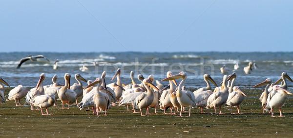 great pelican colony at Meleaua Stock photo © taviphoto