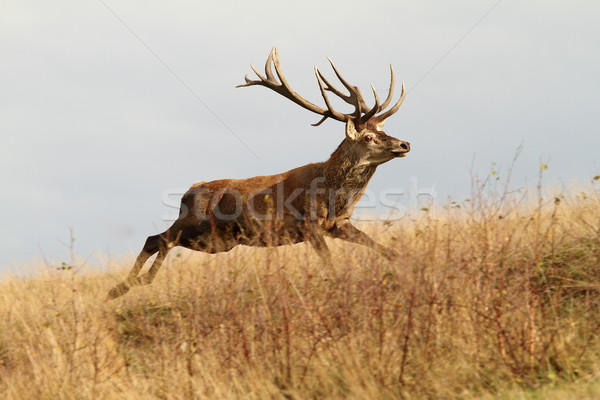 red deer buck running in a clearing Stock photo © taviphoto