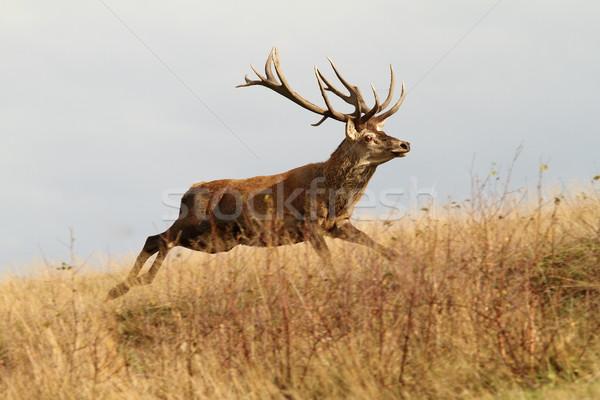 Stockfoto: Rood · herten · reebok · lopen · mooie · natuur