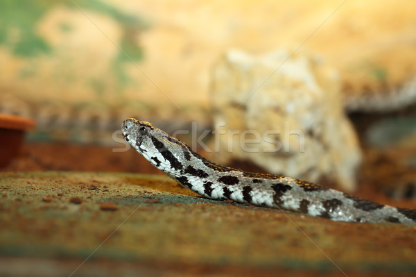 vipera palaestinae closeup Stock photo © taviphoto