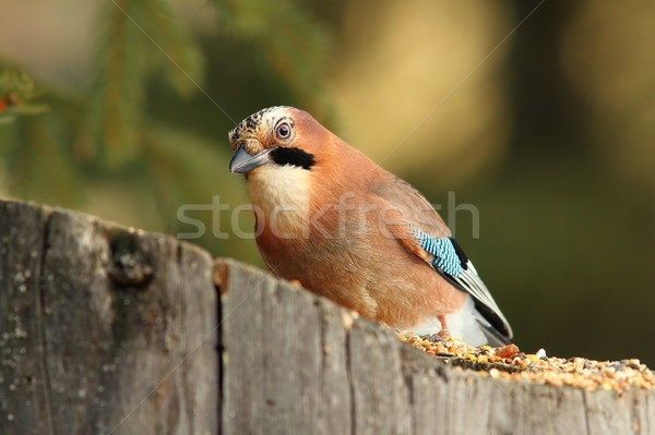 Stock photo: colorful jay on a stump