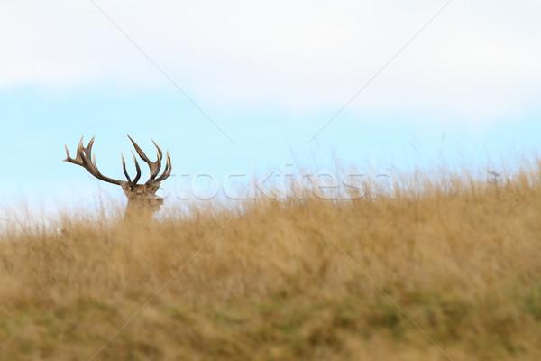 hidden red deer buck Stock photo © taviphoto