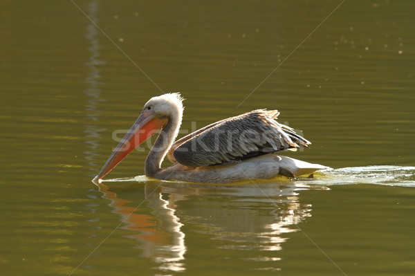juvenile colorful great pelican Stock photo © taviphoto