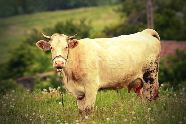 curious cow looking at the camera Stock photo © taviphoto