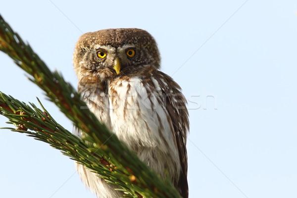 eurasian pygmy owl on spruce Stock photo © taviphoto