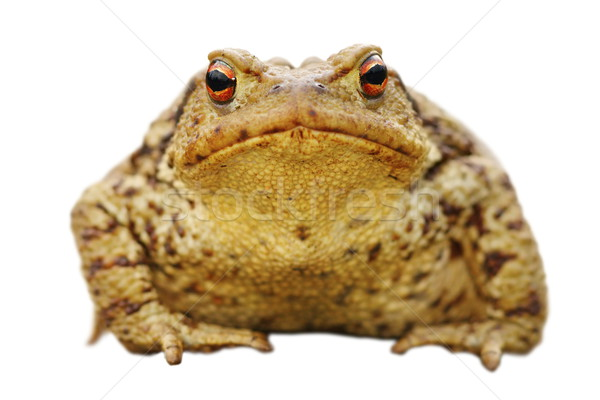isolated close up of common toad Stock photo © taviphoto