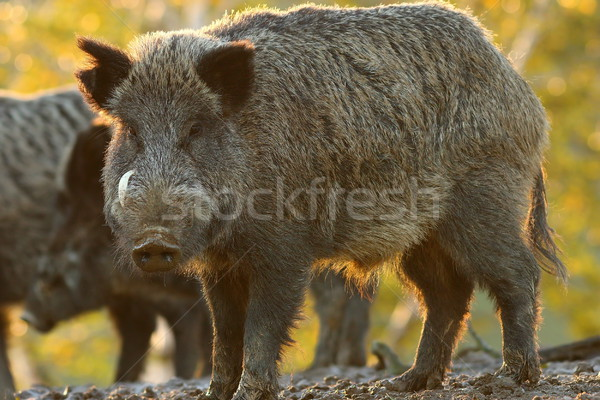 large male wild boar Stock photo © taviphoto