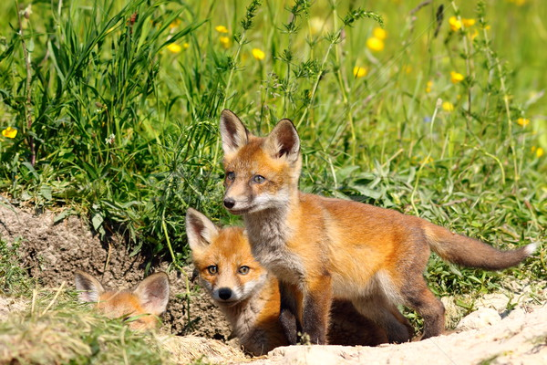 family of young fox cubs near the den Stock photo © taviphoto