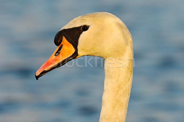 Portre kısmak kuğu mavi dışarı Stok fotoğraf © taviphoto