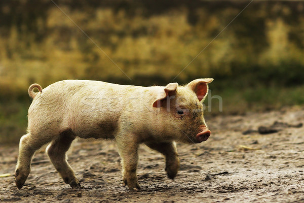 young domestic pig walking on rural road Stock photo © taviphoto