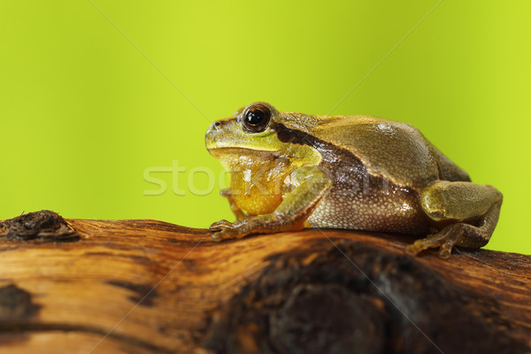 male tree frog singing on wood stump Stock photo © taviphoto