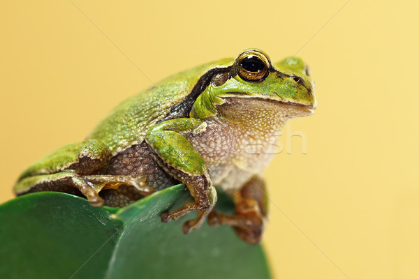 Stock photo: cute green tree frog on a leaf