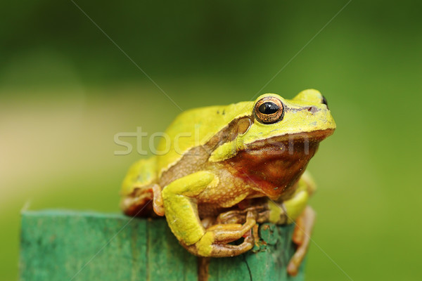 Stock fotó: Aranyos · zöld · fa · béka · áll · darab · fa
