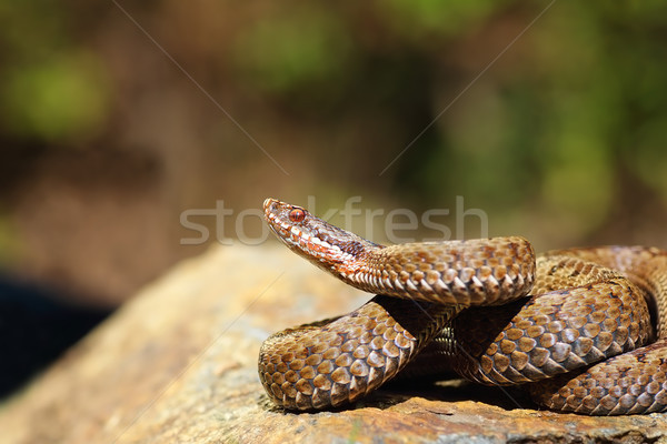 female Vipera berus ready to strike Stock photo © taviphoto