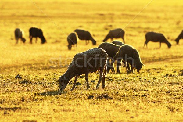 sheep herd grazing in beautiful dawn light Stock photo © taviphoto
