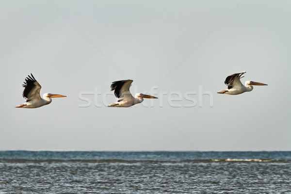 three great pelicans in flight over water  Stock photo © taviphoto