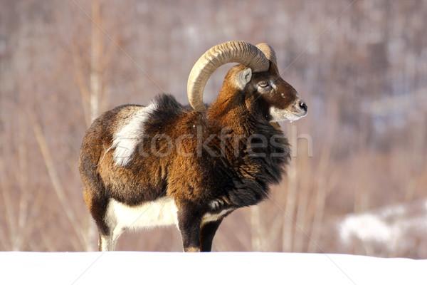 mouflon hunting Stock photo © taviphoto