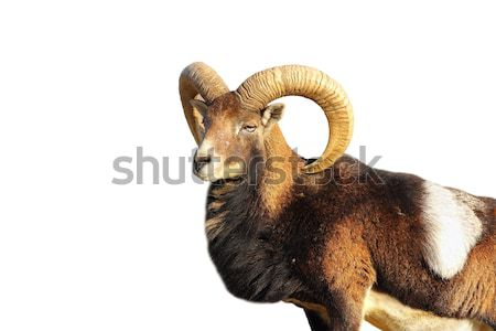 mouflon trophy Stock photo © taviphoto