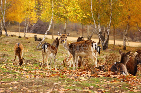 deer eating a leaf Stock photo © taviphoto
