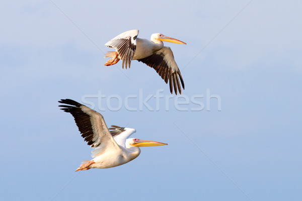 two beautiful pelecanus onocrotalus flying Stock photo © taviphoto