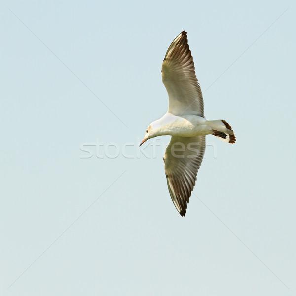 larus ridibundus flying against he sky Stock photo © taviphoto
