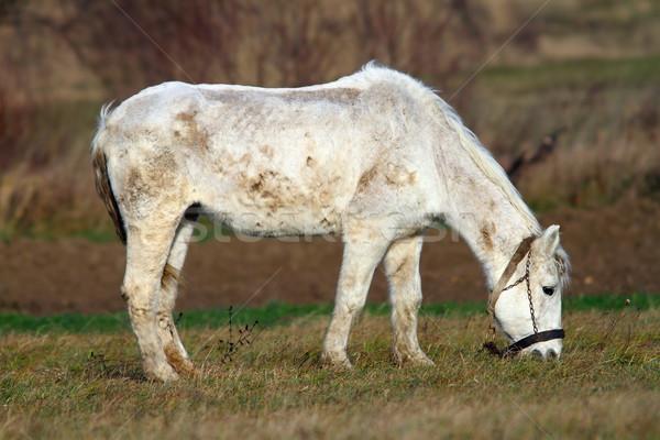 Fehér ló legelő farm természet mező állat Stock fotó © taviphoto