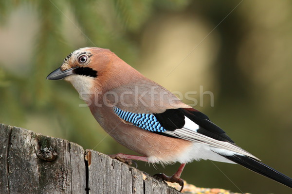 curious jay looking for food on a stump Stock photo © taviphoto