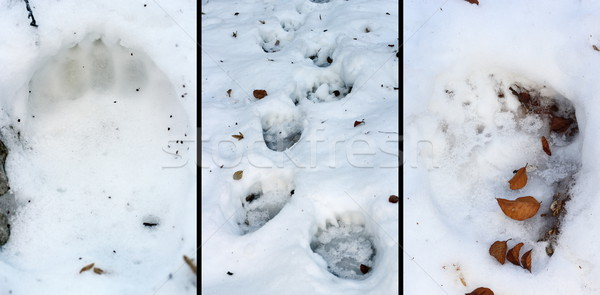 details of bear tracks in snow Stock photo © taviphoto