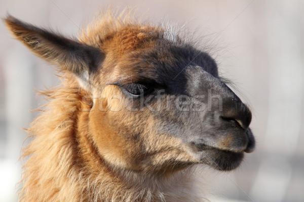 Láma fej közelkép portré háziasított állat Stock fotó © taviphoto