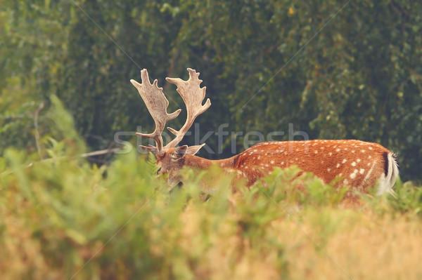 鹿 バック 隠蔽 夏 ストックフォト © taviphoto