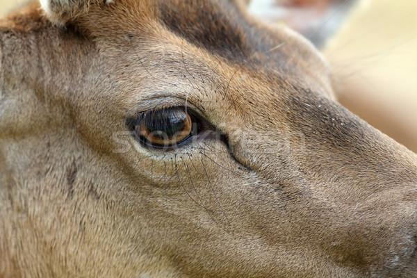 detail on fallow deer buck eye Stock photo © taviphoto