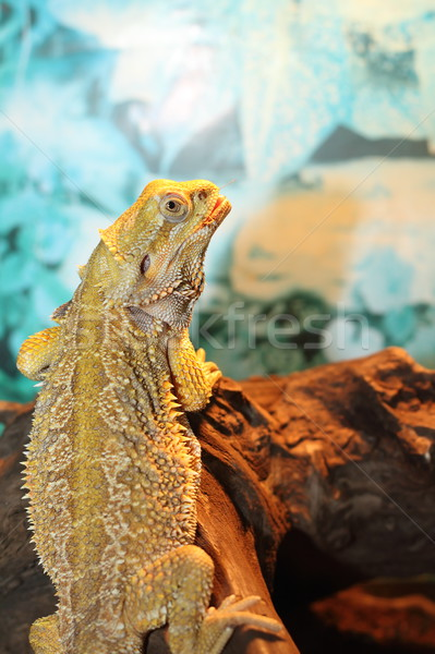 bearded dragon Stock photo © taviphoto