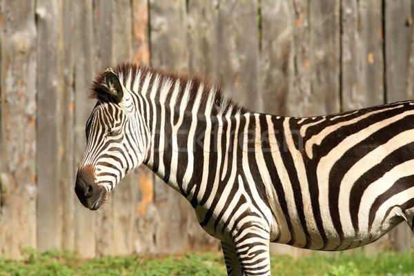 zebra at the zoo Stock photo © taviphoto