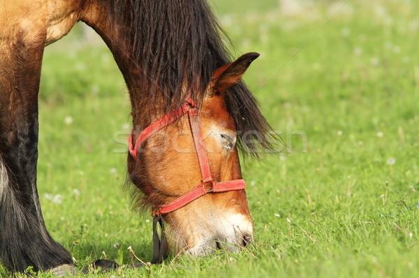 beige horse grazing, portrait Stock photo © taviphoto