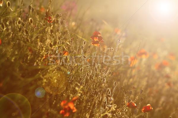 Campo pôr do sol efeito Foto stock © taviphoto