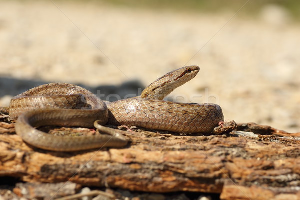 smooth snake basking on tree bark Stock photo © taviphoto