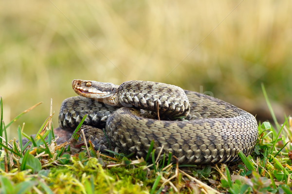common viper basking on meadow Stock photo © taviphoto