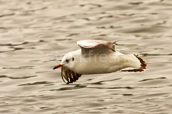 juvenile black headed gull flying over water Stock photo © taviphoto