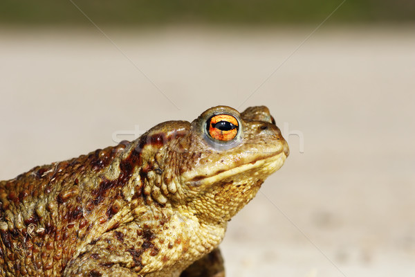 portrait of tiny common toad Stock photo © taviphoto