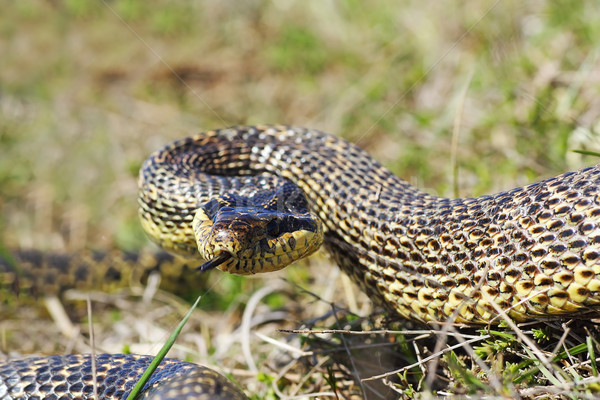 Aggressivo serpente pronto sciopero attaccare posizione Foto d'archivio © taviphoto