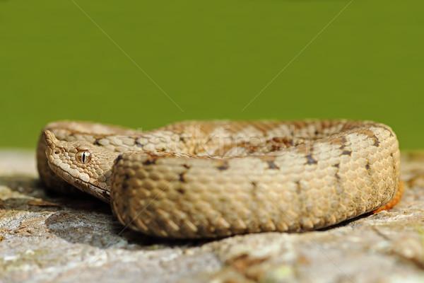 Peligroso serpiente piedra verde fuera enfoque Foto stock © taviphoto