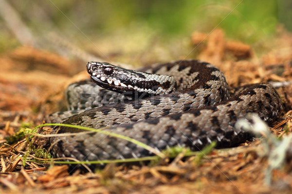 european common viper on forest ground  Stock photo © taviphoto