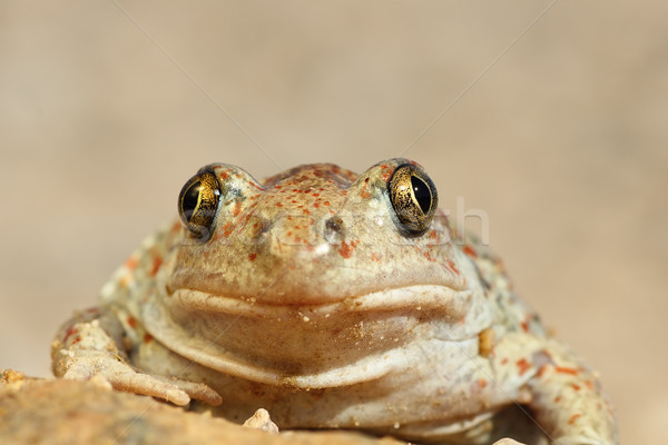 portrait of cute spadefoot toad Stock photo © taviphoto