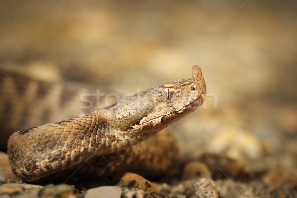 Stock photo: macro shot of Vipera ammodytes montandoni